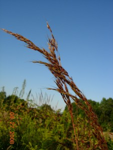 Indian grass, one of the dominant tall grasses in mesic prairie.  Photo copyright 2009 Richard Brewer