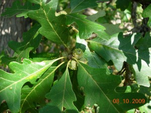 Young acorns on bur oak at Colony Farm Orchard August 2009